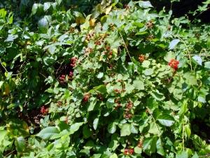 Wild-Raspberries-sm